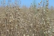 برداشت نخستین دانه کاملینا از مزارع آغاز شد