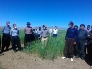 ۹ رقم گندم در مزارع آموزشی کردستان تولید میشود