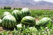 برداشت هندوانه از ۳۰۰ هکتار از مزارع گچساران