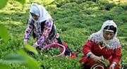 آشنایی با صنعت کشت و تولید چای ایران