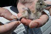 آغاز حلقهگذاری پرندگان آبزی در تالاب میقان
