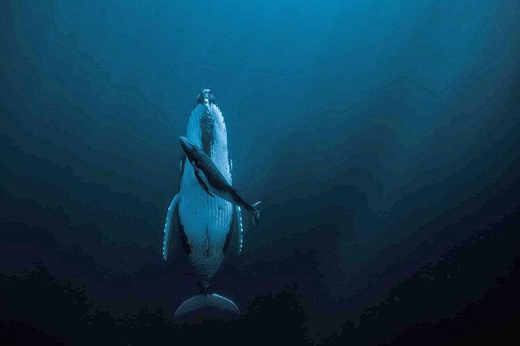 نهنگ گوژپشت و نوزادش برنده جايزه عكاسي هيپا