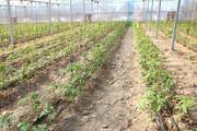 تولید سالانه یک هزار و ۸۰۰ تُن محصول گلخانهای در سقز
