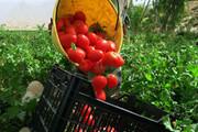 آغاز برداشت خیار و گوجه در مزارع کشاورزی ورامین
