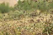 طغیان ملخها در مراتع نهبندان | نیاز استان به هواپیمای سمپاش