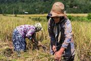 تهدید جانی برای برخورد با سودجویان تخلیط برنج