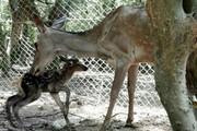 تولد اولین راس گوساله مرال سال ۹۹ در پناهگاه حیات وحش سمسکنده