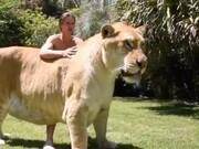 فیلم| شیبر، دورگه شیر و ببر: بزرگترین گربهسان جهان