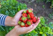 تصویر | آغاز برداشت توتفرنگی در مزارع اشنویه