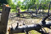 عامل قطع ۲۰۰ اصله درخت در یزد شناسایی شد
