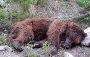 مرگ مشکوک خرس قهوهای   آثار شلیک تیر بر بدن حیوان تحت حفاظت