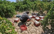 ایجاد ١۸ هزار شغل در بخش کشاورزی کردستان