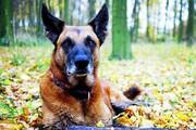 قدرت فوقالعاده سگها برای تشخیص کووید-۱۹