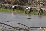 نشای برنج در ۶۵۰ هکتار از شالیزارهای کهگیلویه آغاز شد