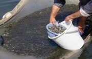 رهاسازی ۳۰۰ هزار بچه ماهی استخوانی در خزر