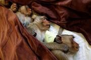 عکس روز   میمونها پس از عقیمسازی