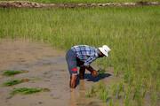 تصویر   برنجکاری در بخش سوسن شهرستان ایذه