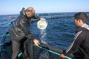پرورش ماهی در قفس فرصتی برای اشتغالزایی و رونق آبزیپروری
