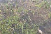 نمونهبرداری از محل مرگ میگوها در رود ارس