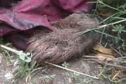 کشف و ضبط لاشه یک قلاده خرس قهوهای از یک خانه