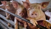 شناسایی ویروس جدید آنفلوآنزای خوکی در چین با توان «همهگیری جهانی»