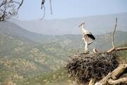روستاهای بانه مسیر مهاجرت لکلکهای مهاجر شد