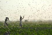 عکس روز   هجوم ملخها