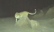 ماده و آبستن بودن یوزپلنگ تصویربرداری شده در توران قابل تشخیص نیست