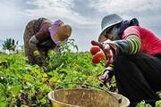 اختصاص ۴۶۷ میلیارد ریال تسهیلات برای بانوان کشاورز قمی