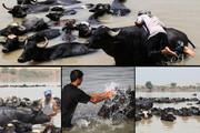 گاومیشداری در خوزستان | صنعتی پربازده اما در مسیر نابودی