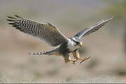 تدوین برنامه حفاظت از گونه در معرض انقراض «بالابان» در همدان