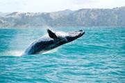 ویدئو | صحنه دیدنی حضور یک نهنگ غول پیکر در کنار قایق تحقیقاتی