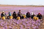 قیمت خرید زعفران از کشاورز یک بیست و پنجم بازار جهانی است