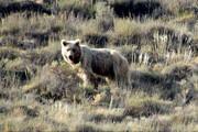 فیلم | دفاع خرس قهوهای از قلمرو در برابر خرس جوان در البرز مرکزی شمالی