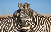 توضیح باغ وحش صفادشت درباره مرگ گورخر آفریقایی | علت مرگ؛ استرس بیش از حد (ویدئو)