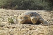 تلف شدن ۲۸ لاکپشت در سواحل شهرستان جاسک