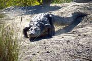 وحشت در آفریقای جنوبی در پی فرار تعدادی تمساح خطرناک