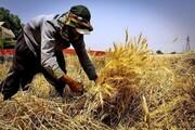 تولید گندم ۲.۵ برابر نیاز سالانه شد