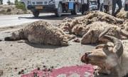 یک خودرو در مرند ۲۱ گوسفند را کشت