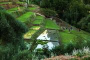 تصویر | نشاء برنج در منطقه مشایخ چهارمحال و بختیاری