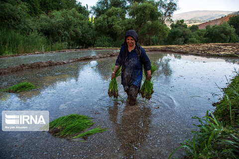 نشاء برنج در منطقه مشایخ چهارمحال و بختیاری