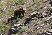 گردشگران به زیستگاه خرس قهوهای سبلان نزدیک نشوند