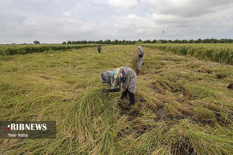 برداشت برنج