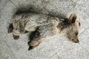 خطر بومیان برای حیات وحش مشگینشهر   مرگ تولهخرس با طعمه مسموم