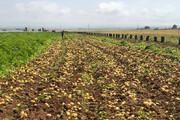 جولان کشاورزان مهاجر در اراضی کشاورزی