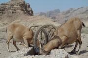 شکارچیانی که به احترام البرز دست از ماشه میکشند
