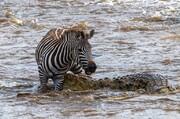 تصاویر | گورخر تمساح را گاز گرفت و از مرگ گریخت