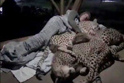 فیلم همزیستی یوزپلنگها و جنگلبان مربوط به مازندران نیست