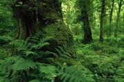این ۶ گونه گیاهی مهاجم، جنگلهای هیرکانی را نابود میکند