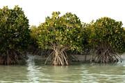 ریه دریا خشک میشود   مرگ جنگلهای حرا در تالاب تیاب میناب